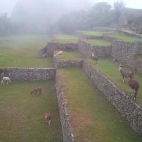 Alpacas, die frei rumlaufen