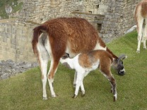 Freilaufende Lamas