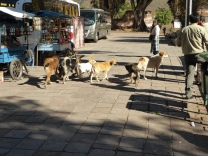 Straßenhundegang wie in Tunja