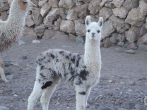 Babyalpaca - oder Lama?