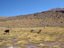 Grasende Lamas