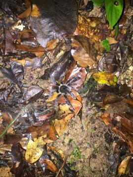 Tarantula bei der Nachtwanderung
